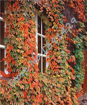 100 pcs / sac 5 couleurs vert Boston Ivy Graines Ivy herbe semences pour le bricolage Maison et jardin en plein air Plantes arbres Graines Drop Shipping