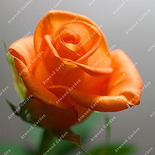 ZLKING 100Pcs Fleurs Rose Bonsai frais Graine belle plante exotique Accueil Jardin Vivaces Décorés Flowe Haute Germination Prix 2