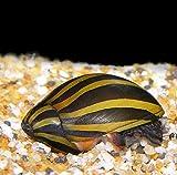 WorldwideTropicals Live Freshwater Aquarium Fish - (6) Zebra Nerite Snails - 6 Pack of Zebra Nerite Snails - by Populate Your Fish Tank!