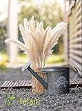 felani® Pampasgras getrocknet - 15 Stück in weiß I natürlich & besonders fluffig - echte Trockenblumen Wedel - Wohnzimmer Deko - Phragmites Communis - 2