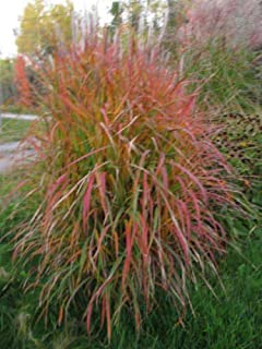 Miscanthus Sinensis Purpurascens Maiden Grass jocad (10 Seeds)