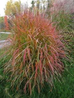 Purpurascens Maiden Grass Miscanthus Sinensis Seeds #GGR03