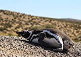 CALVENDO Magellan Pinguin, Patagonien, Argentinien, Poster