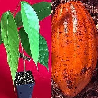 TRINITARIO Theobroma Cacao Cocoa Chocolate Fruit Tree Potted Plant RED Medium