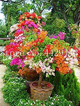 ホームガーデンの植栽のための50個のブーゲンビリア、鉢植え、ブーゲンビリアの花、完全なバラエティ、出芽率95%、10: