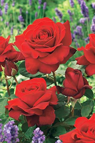Willemse France 011448-4 Lot de 4 : Rosier buisson La Magie du Parfum (Parfum magique 84) Rouge