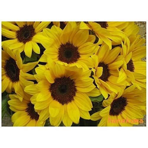 ひまわり10本の花束 母の日・お誕生日お祝 記念日などに!フラワーギフト