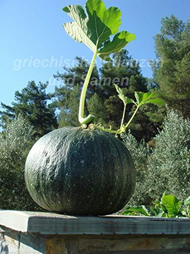 FERRY HOCH KEIMUNG Seeds Nicht NUR Pflanzen: Steirische Ölkürbis 6 Samen Kürbis Delicious gesunde
