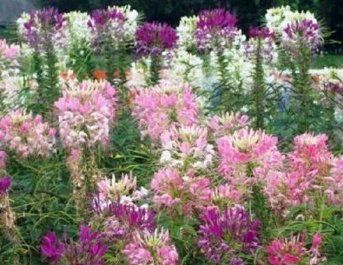 Cleome Mix Pianta ragno 150 semi belle tonalità di rosa viola e bianco