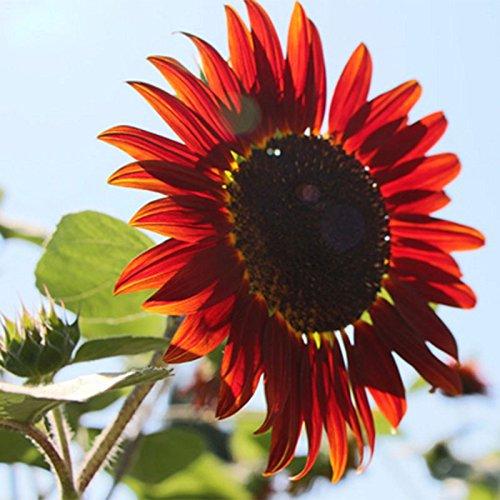 Hot Sale Rare Graines de tournesol Red Fortune Red Organic Seeds Helianthus annuus pour jardinage ornemental Fleurs Graines 60PCS