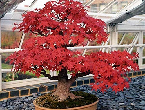 10 Red Japanese Maple Seeds Acer Palmatum Atropurpureum Bonsai Maple Tree