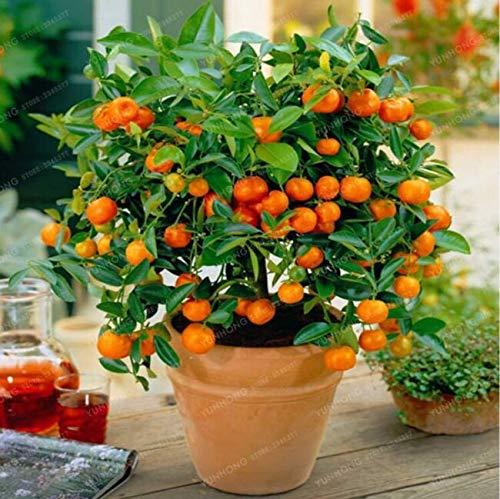 Orange 20 Sẹẹds Balcony Patio Potted Frụit Trees Planted Sẹẹd Kumquat Orange Tangerine (0-1)