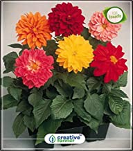 Seed Category:Dahlia Variabillis Top Star Beauty Mix Summer Flower Seeds in India Kitchen Garden Plant Seeds