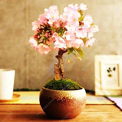 10pcs/sac Japon Mini sakura Graines rose cerise fleur couleur Sakura graines se développent facilement bonsaï, plante jardin pot jaune