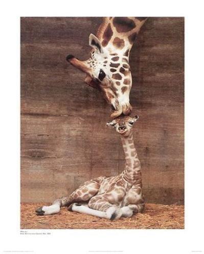 Makulu Giraffe Mother Love First Kiss by Ron D'Raine 20x16 Art Print Poster Photograph by Verkerke