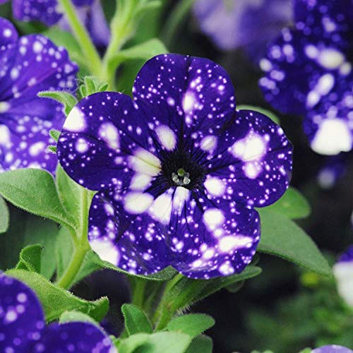 Tacoli- Garden Bonsai Petunia « Sky Blue Night » Fleurs, mouchetures blanches de graines de 200pcs contre les pétales bleu profond seul pétale