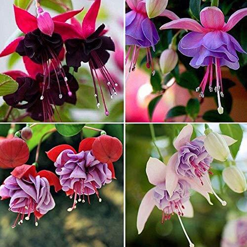 200 Stück/Beutel Lebendige Fuchsia-Samen Warm, Bevorzugen Ertragreiche Fuchsia-Samen Von Bonsai Fuchsia Hybrida Samen