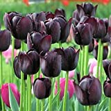 Kisshes Semillas Nueva Flor Adorable fragante Semillas fragantes Flores de tulipán Semillas