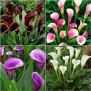 Portal Cool Paquete de semillas: 4pcs Raras colorida flor de la cala de verano jardinería Perenne Bulbos
