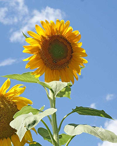 David's Garden Seeds Mammoth Grey Stripe Sunflower - Non-GMO - 50 Seeds