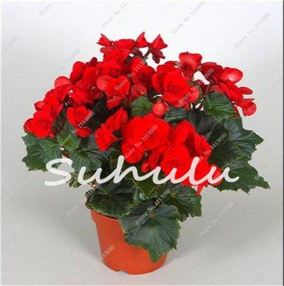 100 Pcs Bonsai Graines Begonia hybrida Voss Fleurs lanternes Begonia Malus Spectabilis décoratifs chinois Bonsai Fleurs Jardin 16