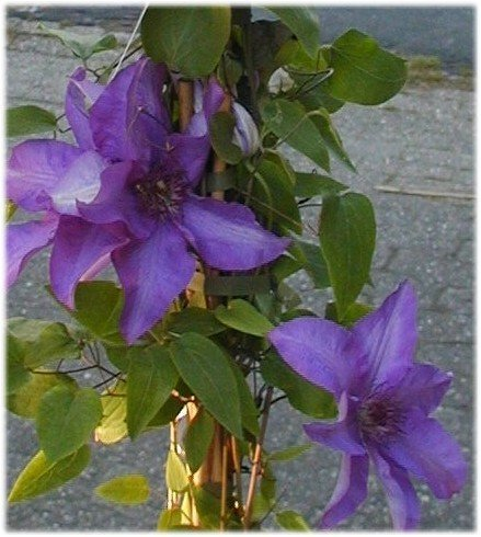 Waldrebe Clematis The President 80 cm hoch im 3 Liter Pflanzcontainer