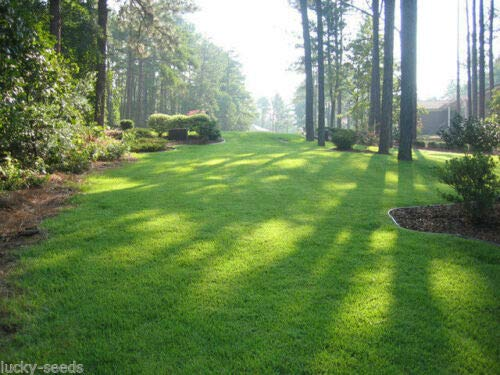 (On BackOrder) Zenith Zoysia Grass Seed 100% Pure - 1 Lb. - Grass Seeds