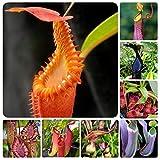 Free Venus Venusfliegenfalle Dionaea Muscipula sät fleischfressende Pflanze Samen