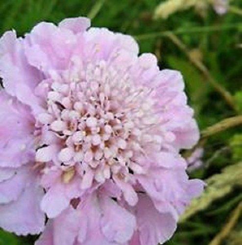 Pink Diamonds Nadelkissen, Scabiosa, mehrjährige Pflanzen, 25 Samen