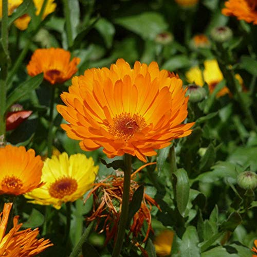 Charm4you Raras Semillas de Hierba,Jardín balcón Planta Floral Seed-Yellow_500g,Semillas Ornamentales de Hierba