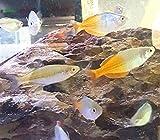 Finchville Aquatics Boeseman's Rainbowfish (Melanotaenia boesemani)