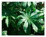 """Premier Seeds Direct RIC01F Wunderbaum, Rizinus """" Zansibariensis"""" Samen (Packung mit 15)"""