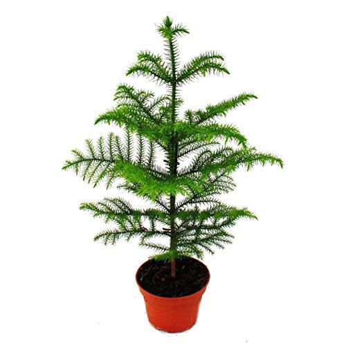 Exotenherz - Zimmertanne - Araucaria heterophylla - 15cm Topf - ca. 40-50cm hoch