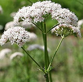 Anthos Valerian Seeds (Valeriana officinalis) 100+ Organic Heirloom Seeds in FROZEN SEED CAPSULES for The Gardener & Rare ...