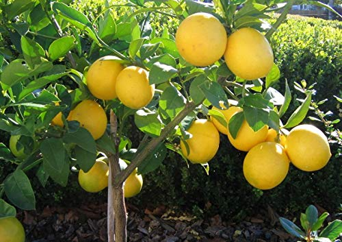Grafted Lemon Meyer Lịve Frụit Tree - Lemon Frụit Tree for Gardening - 2'- 3' Tall- Tree Live Indoor Outdoor