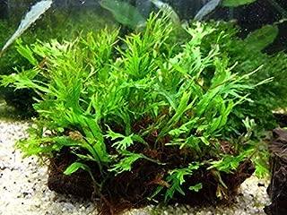 AquaLeaf Aquatics Mini Java Fern Windelov on Driftwood (2-3 Inches)