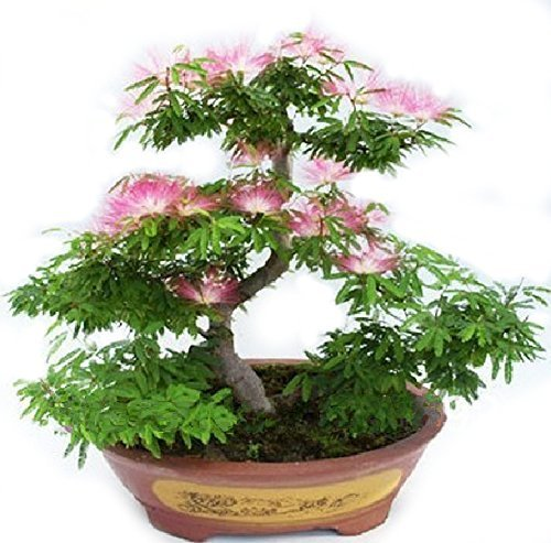 Higarden bonsai Albizia Flower seeds called Mimosa Silk Tree ,seeds for flower potted plants, 20 pieces/bag