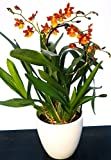 Cambria naranja, orquídea en maceta de cerámica blanca, planta auténtica.