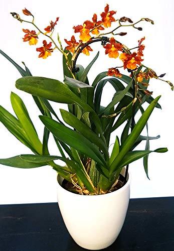 CAMBRIA ARANCIO, ORCHIDEA IN VASO CERAMICA BIANCO, pianta vera