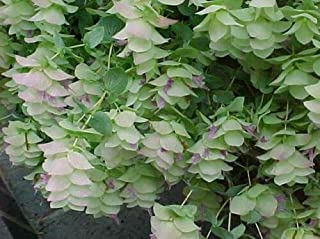 Kent Beauty Oregano, Origanum 'Kent Beauty', 5.5