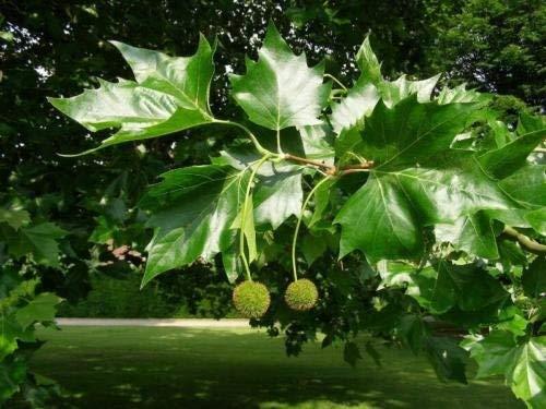 25 Samen von Platanus occidentalis amerikanische Platane
