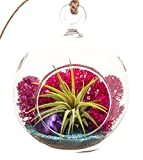 """Bliss Gardens Mini Air Plant Terrarium with 3"""" Round Glass, Fuchsia Moss, Turquoise Sand and Purple Agate"""