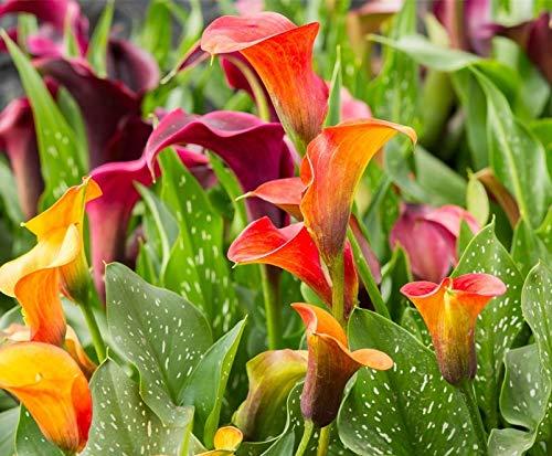 Calla-Lilien-Blumenzwiebel: Schöne Blumen in verschiedenen Farben, eine der wichtigen Schnittblumen auf dem internationalen Blumenmarkt, 4 Calla-Lilien-Blumenzwiebeln.