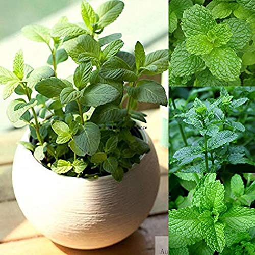 Mint Chocolate Perennial Herb Plant 25 Seeds Non Transgenic High Quality Seeds