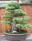 PLAT FIRM Germinación de las semillas: 12 liquidámbar Liquidambar styraciflua Semillas Ãrbol de los bonsais