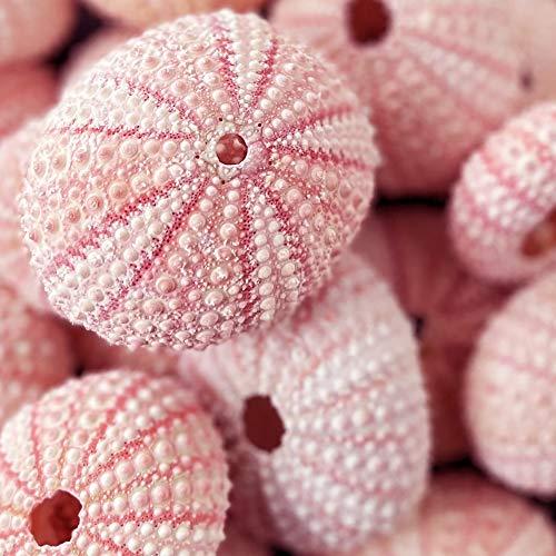 "CYS EXCEL Pink Sea Urchin Seashells (Approx. 1""-2"")(25 PCS) | Multiple Color Choices Jellyfish Air Plant Nautical Décor | Coastal Beach Crafts Sea Decoration Ornaments"