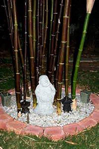 50 graines de bambou rares graines de Bambu de bambou Moso noir géant paquet professionnel graines d'arbres Bambusa Lako pour le jardin à la maison jaune clair