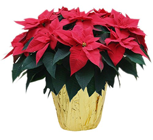 KaBloom Holiday Collection: Fresh Red Poinsettia Plant (18-22 Inches Tall) in 7-inch Gold Pot