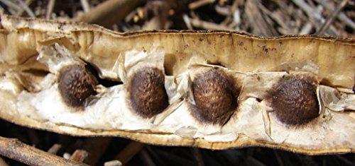 25semillas del árbol Moringa Oleifera