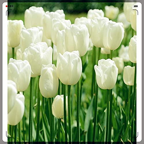 Tulpenzwiebeln,Edle Und Elegante Tulpen,Tulpen Symbolisieren Ewige Liebe,Potted All Year Round,Tulpenzwiebeln im Garten,Zeremonielle Blumen von hohem Standard-10 Zwiebeln,3